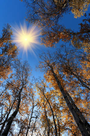 golden autumn scenery of the birch woods photo