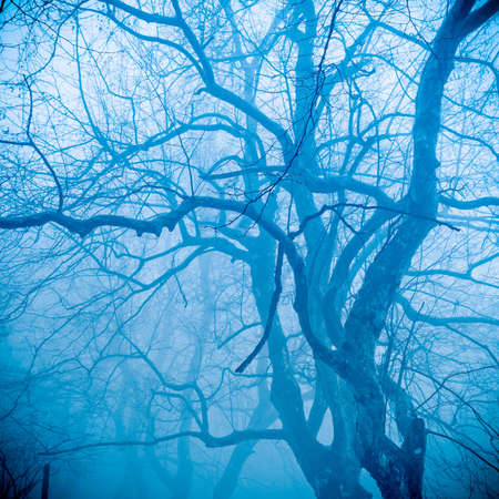 sycamore: winter tree in the fog