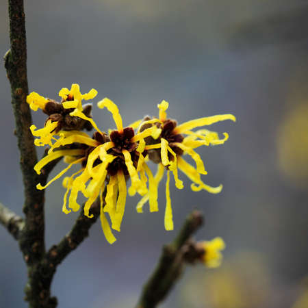 hazel: close up of the witch hazel in full bloom in february