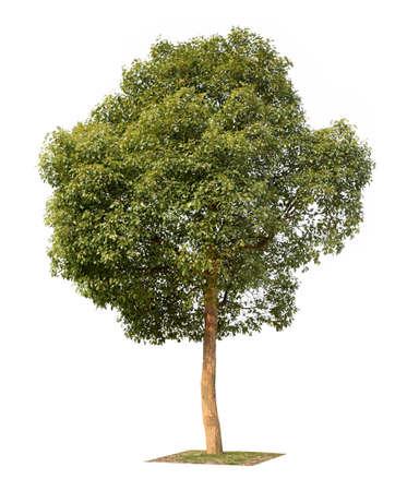 árbol de alcanfor pequeña aislado en blanco