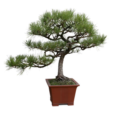 bonsai tree isolated on white, miniature pine tree photo