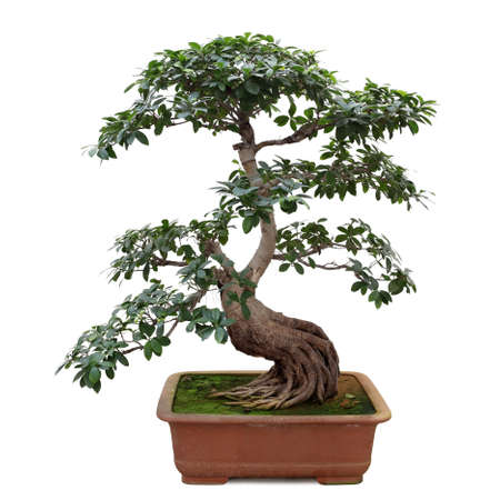 bonsai tree isolated on white, miniature banyan tree Stock Photo