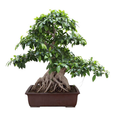 bonsai: green bonsai banyan tree with white background