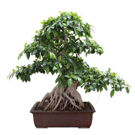 banyan: verde bonsai �rbol de higuera con fondo blanco Foto de archivo