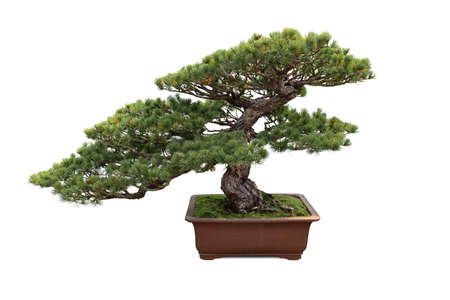 bonsai tree with white background , miniature pine tree photo