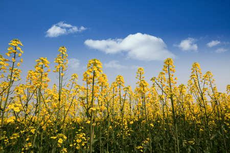 rape flowers against a blue sky in spring Stock Photo - 13034305