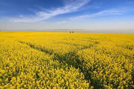 spring landscape, rapeseed fields in full bloom at riverside Stock Photo - 13034297