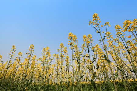 rape field against a blue sky in spring Stock Photo - 13034306