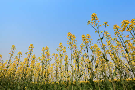 rape field against a blue sky in spring Stock Photo - 13034306