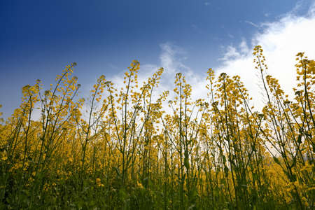 rapeseed field against a blue sky in spring,backlight Stock Photo - 13034299