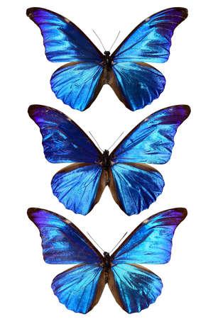 morpho: blue morpho butterfly isolated on white
