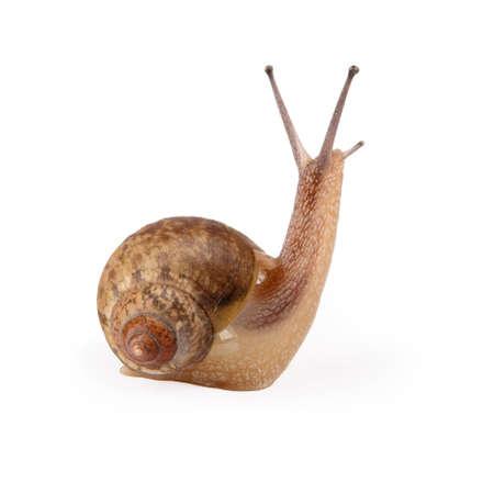 caracol: un caracol de jardín, miras a tu alrededor aislado en blanco