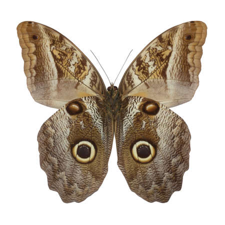 entire: owl butterfly isolated on white,the entire wing surface resembles the owl