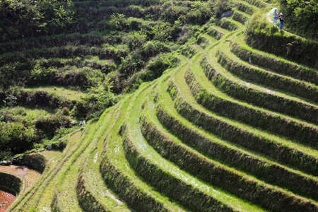cropland: green terraced field in sunlight and traveler