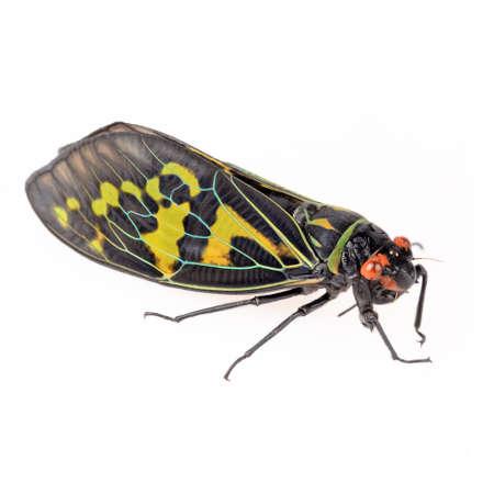 cicada bug: color cicada isolated on white background