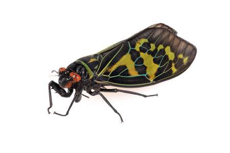 cicada bug: color cicada with white background