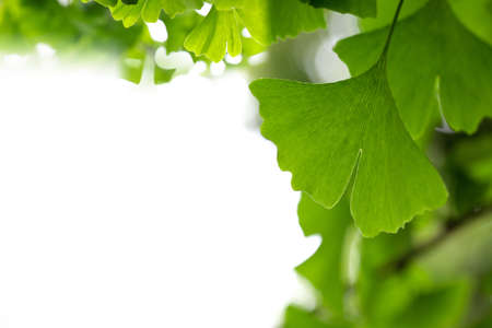 gingko: ginkgo leaf background with copy space Stock Photo