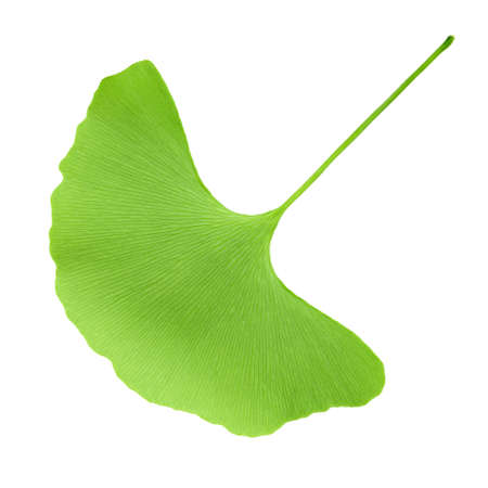 green ginkgo leaf isolated on white background photo