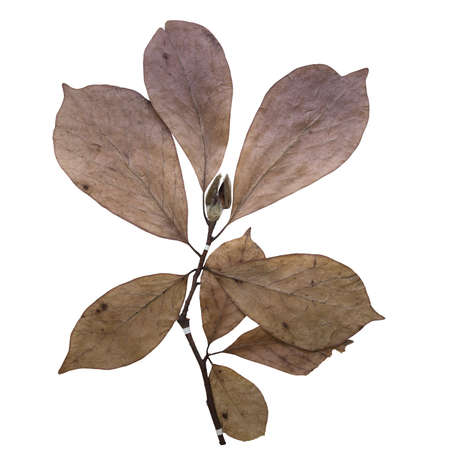 magnolia herbarium isolated on white background photo
