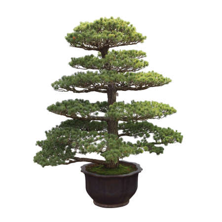 big bonsai pine,general decoration in the traditional garden or park entrance photo