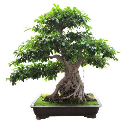 bonsai: bonsai banyan tree with white background