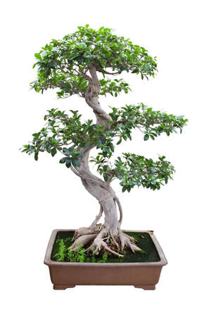 ornamental plant: bonsai banyan tree with white background