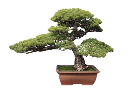 green bonsai pine with white background