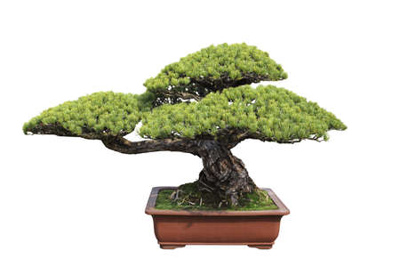 green bonsai tree of pine with white background photo