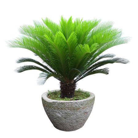 cycadaceae: sago cycad tree in a stone mortar isolated on white