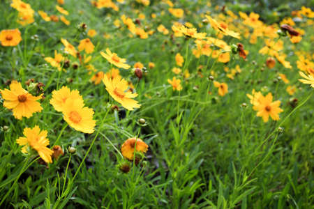 golden daisy: yellow coreopsis wildflowers bloom in the may