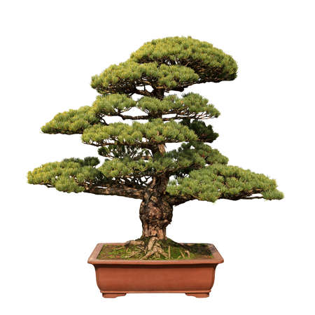 green bonsai tree of pine in a ceramic pot isolated on white photo