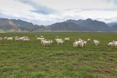 a flock of sheeps on grassland under the yinshan mountains in inner mongolia photo