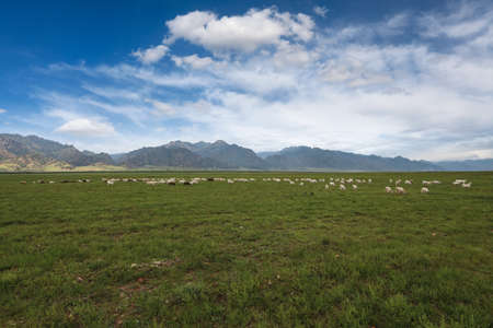 flock of sheep: sheep herd on grassland under the blue sky in inner mongolia