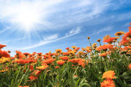blue daisy: yellow african daisy against a blue sky