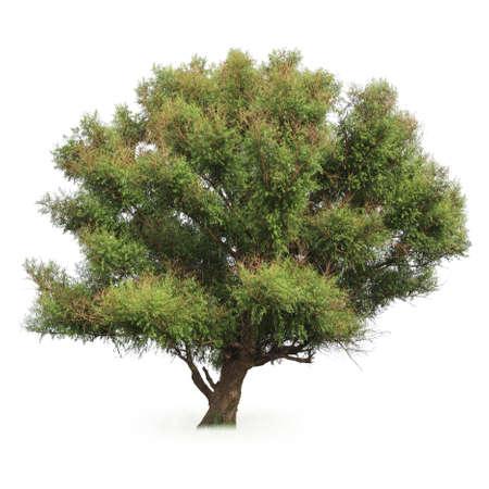 poplar: a big poplar tree with white background