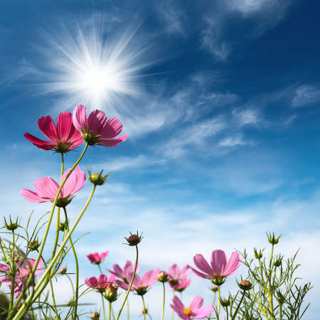 blue daisy: cosmos flowers against a blue sky Stock Photo