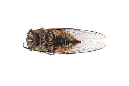 dead animal: dead cicada isolated on white background Stock Photo