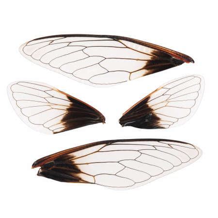 exemplar: cicada wings isolated on white