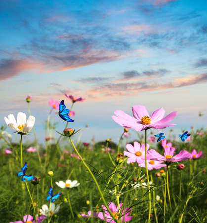 blue butterflies flying in cosmos flowers against a dusk sky photo