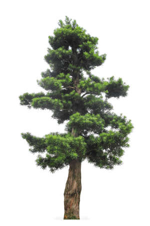 regarded: yew podocarpus with white background,buddhist pine is highly regarded as a feng shui tree in Hong Kong
