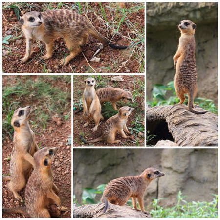 suricatta: the meerkat or suricate, suricata suricatta, is a small mammal belonging to the mongoose family  Stock Photo
