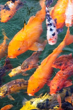 koi pond: variegated carp swimming in the pond