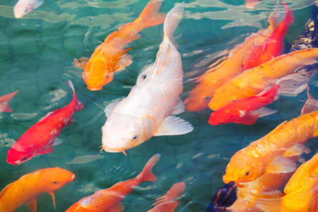koi: beautiful koi fish swimming in the pond
