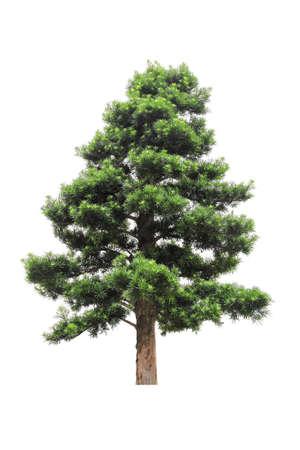 green podocarpus isolated on white photo