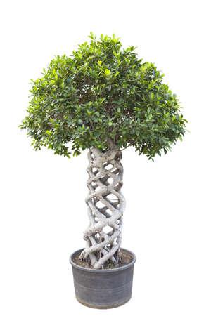 interleaved: banyan tree bonsai isolated on white