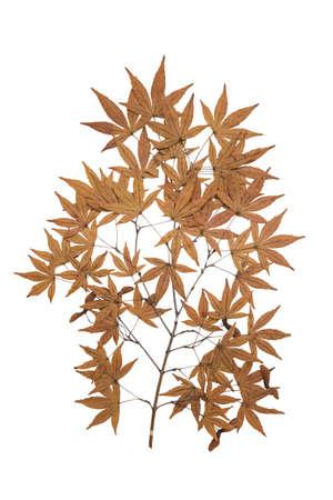 herbarium: maple herbarium isolated on white background