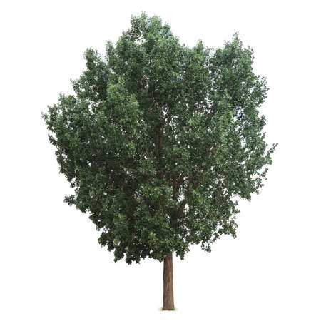 poplar: green tree isolated on white