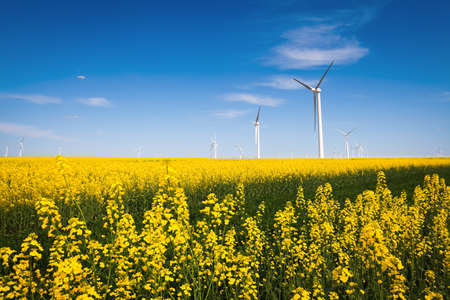 wind farm and beautiful rapeseed flower in bloom with a clear sky photo
