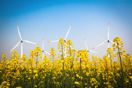 wind farm and yellow rapeseed flower in bloom with a clear sky photo
