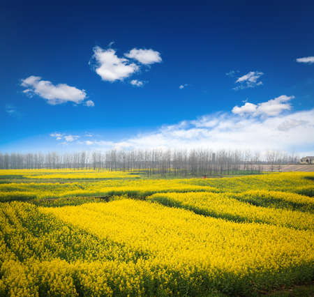 rapeseed field against a blue sky,beautiful spring landscape Stock Photo - 17474290